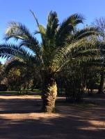 Palmier du Palatin