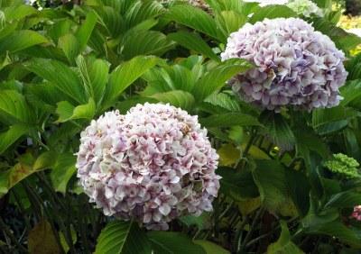 Hortensia de Lombard Street