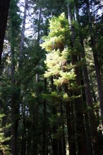 Soleil et séquoias