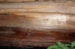 Tronc de séquoia
