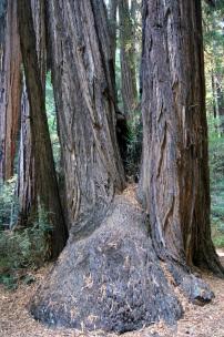 Coeur de séquoia