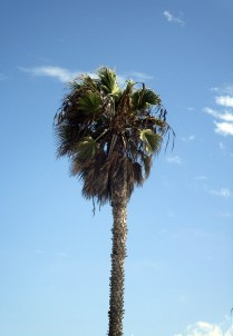 Des palmiers partout